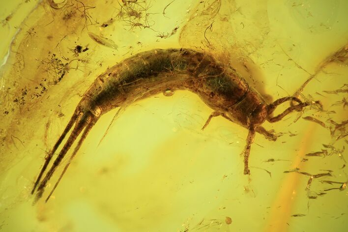 Detailed Fossil Bristletail (Archaeognatha) In Baltic Amber