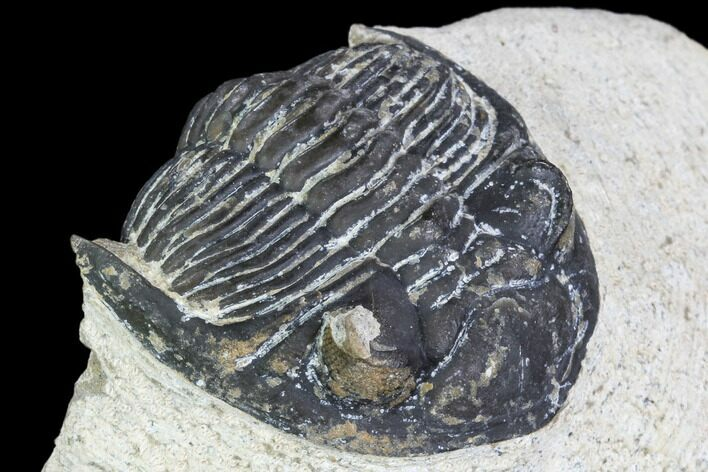 "Bargain, 2"" Hollardops Trilobite - Visible Eye Facets"