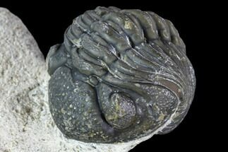 "Buy Enrolled, 2.3"" Boeckops Trilobite - Nice Eye Facets - #106000"