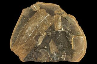 Macroneuropteris scheuchzeri - Fossils For Sale - #106053