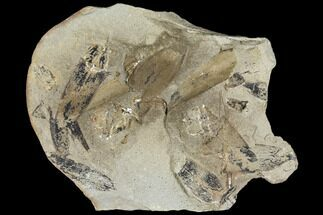 Macroneuropteris scheuchzeri - Fossils For Sale - #106059