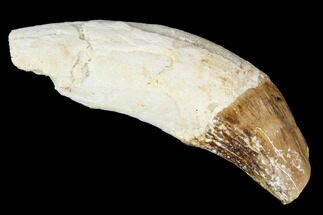 "1.6"" Primitive Whale (Basilosaur) Tooth - Dakhla, Morocco For Sale, #106322"