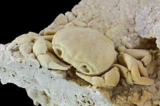 "2.8"" Fossil Crab (Potamon) Preserved in Travertine - Turkey For Sale, #106460"