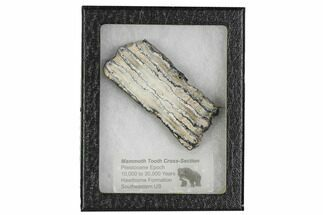 "Buy 3.3"" Mammoth Molar Slice With Case - South Carolina - #106435"