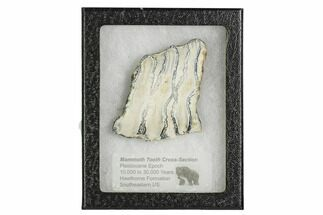 Mammuthus columbi - Fossils For Sale - #106494