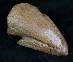 Awesome Pachycephalosaurus Claw - South Dakota For Sale, #7532