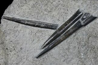 Buy Three Fossil Belemnites (Youngibelus)  - Germany - #106357
