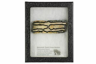 Mammuthus columbi - Fossils For Sale - #106524