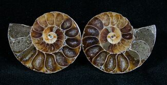 Buy Small Desmoceras Ammonite Pair - #7543