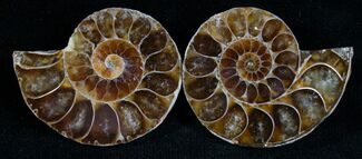 Small Desmoceras Ammonite Pair For Sale, #7538