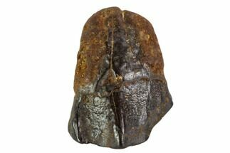 ".76"" Ceratopsian Tooth - Judith River Formation, Montana For Sale, #106871"