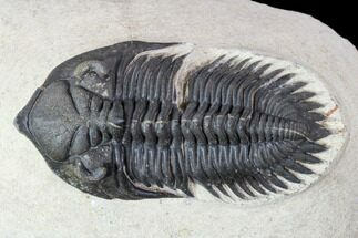 Metacanthina issoumourensis - Fossils For Sale - #107019