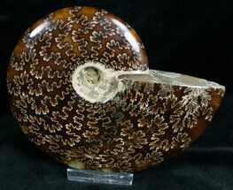 "4.8"" Cleoniceras Ammonite Fossil - Madagascar For Sale, #7355"