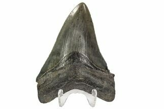 "Serrated, 3.69"" Fossil Megalodon Tooth - Georgia For Sale, #107240"