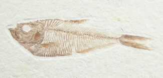 "Buy 3.7"" Diplomystus Fossil Fish - Wyoming - #7567"