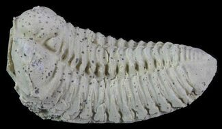 "1.5"" Calymene Celebra Trilobite - Illinois For Sale, #64031"