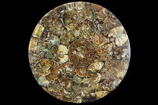 "Buy 9.8"" Composite Plate Of Agatized Ammonite Fossils - #107332"