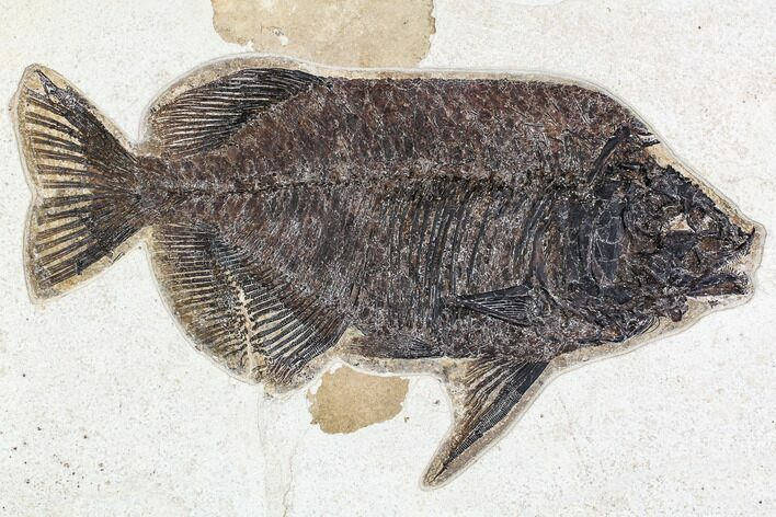 "13"" Fossil Fish (Phareodus) - Green River Formation, 18 Inch Layer"