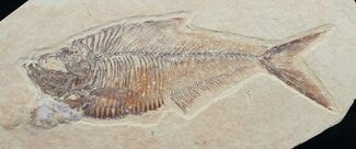 "4.9"" Diplomystus Fossil Fish - Wyoming For Sale, #7583"