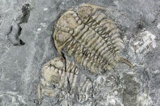 "Buy 1.3"" Ceraurus Trilobite From Verulam Formation - Ontario - #107503"