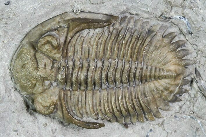 ".83"" Greenops Trilobite - Hungry Hollow, Ontario"