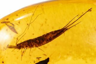 Fossil Bristletail (Microcoryphia) In Amber - Myanmar For Sale, #107573