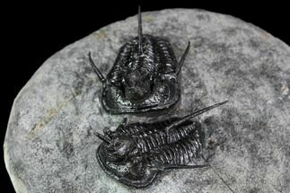 "Buy Two ""Devil Horned"" Cyphaspis Trilobites - Mrakib, Morocco - #107695"