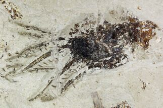 Acanthoteuthis (Belemnoteuthis) syriaca - Fossils For Sale - #107712