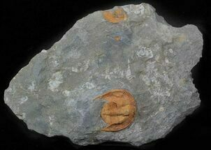 Nankinolithus sp. - Fossils For Sale - #62715