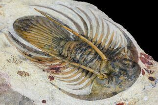 "2.65"" Spiny Kolihapeltis Trilobite - Large For Species For Sale, #108239"
