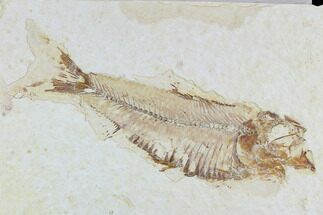 "3.9"" Fossil Fish (Knightia) - Wyoming For Sale, #108308"