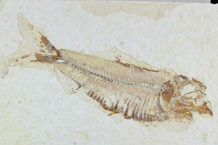 "3.9"" Fossil Fish (Knightia) - Wyoming"
