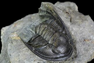 "Buy Rare, 1.25"" Xiphogonium Trilobite - Phenomenal Prep Work - #108460"