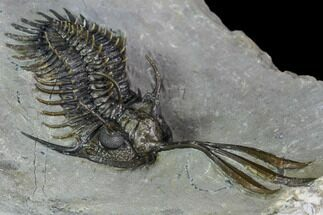 "2.15"" Walliserops Trilobite (Unusual Locality) - Msissi, Morocco For Sale, #108782"