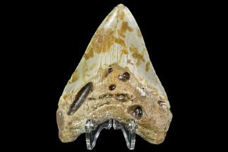 Carcharocles megalodon - Fossils For Sale - #108891