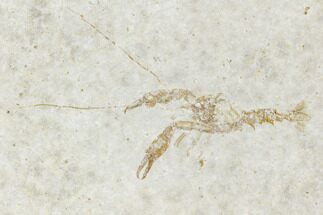 "Buy 1.4"" Fossil Lobster (Eryma) - Germany - #108916"