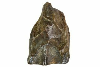 ".87"" Triceratops Shed Tooth - Montana For Sale, #109085"