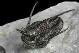 "Exceptional ""Devil Horned"" Cyphaspis Trilobite Cluster - #108774-3"
