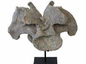 "Massive, 33"" Apatosaurus Cervical Vertebra On Stand - Colorado For Sale, #109178"