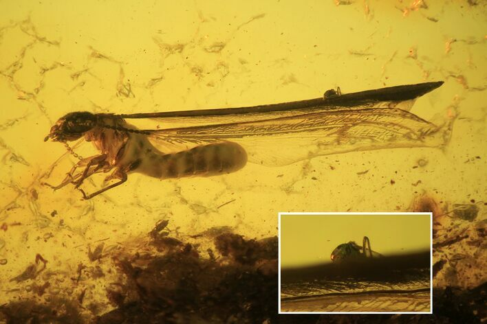 Detailed Fossil Termite (Isoptera) In Baltic Amber