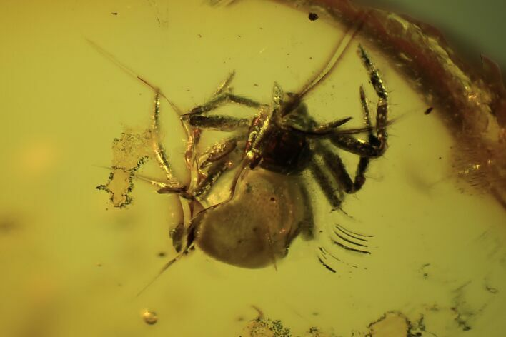 Fossil Spider (Araneae)  In Baltic Amber