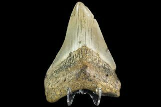 "Buy 3.51"" Fossil Megalodon Tooth - North Carolina - #109534"