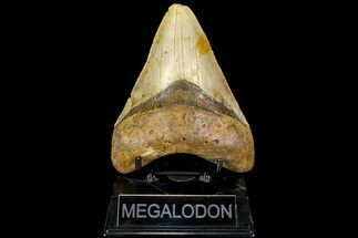 "5.1"" Fossil Megalodon Tooth - North Carolina For Sale, #109784"