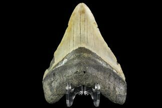 "4.09"" Fossil Megalodon Tooth - North Carolina For Sale, #109859"