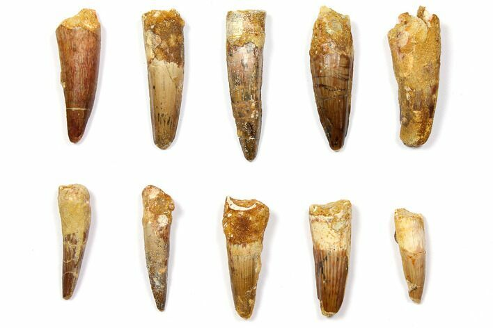 "Wholesale Lot: 1.5-2.3"" Bargain Spinosaurus Teeth - 10 Pieces"