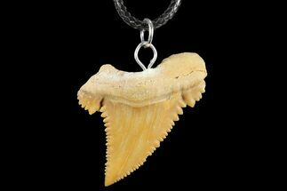 "1.32"" Fossil Shark (Palaeocarcharodon) Tooth Necklace -Morocco For Sale, #110219"
