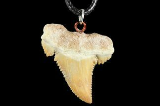 "1.43"" Fossil Shark (Palaeocarcharodon) Tooth Necklace -Morocco For Sale, #110249"