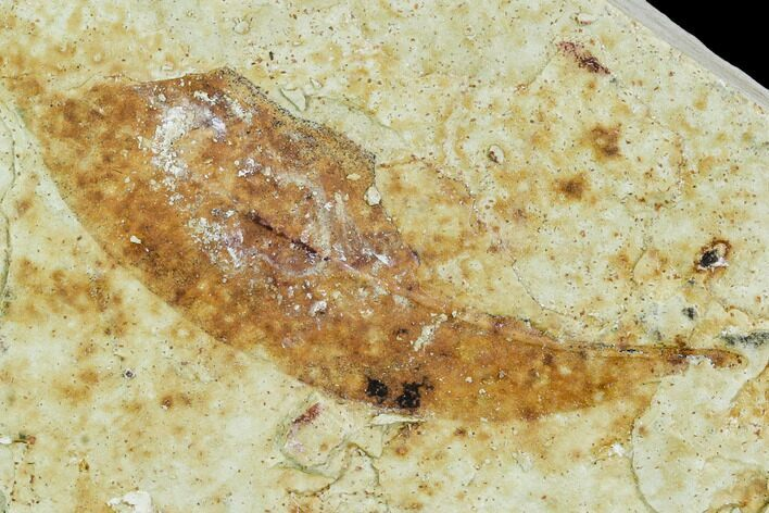"2.3"" Fossil Allophylus Leaf - Green River Formation"