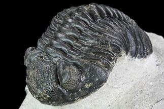 Pedinopariops (Hypsipariops) vagabundus - Fossils For Sale - #110652
