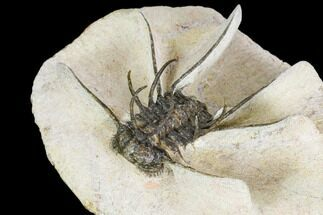 "Bargain, 2.45"" Spiny Ceratonurus Trilobite For Sale, #110735"